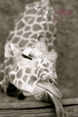 Binder Park Zoo Giraffes